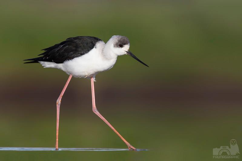 White-headed Stilt