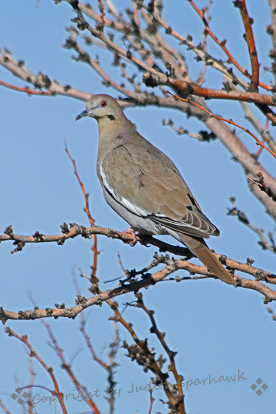 Whute-winged Dove ~ This photo was taken in Las Cruces, New Mexico, in a recent visit there.  It was the most common dove there his winter.
