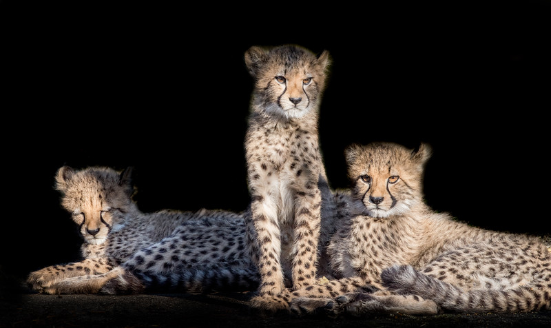 Three cute cheetah cubs