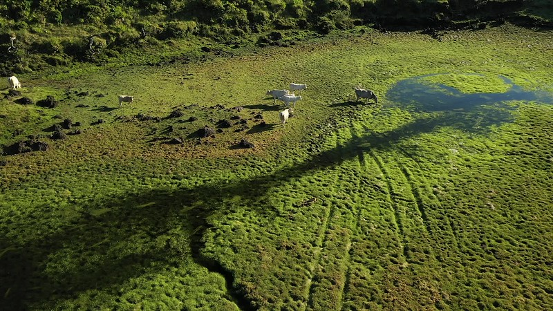 Available in 4K -Aerial video clip around cows aattle grazing at the almost dry lake of Lagoa do Paul on the Central Plateau of Pico island, Azores.