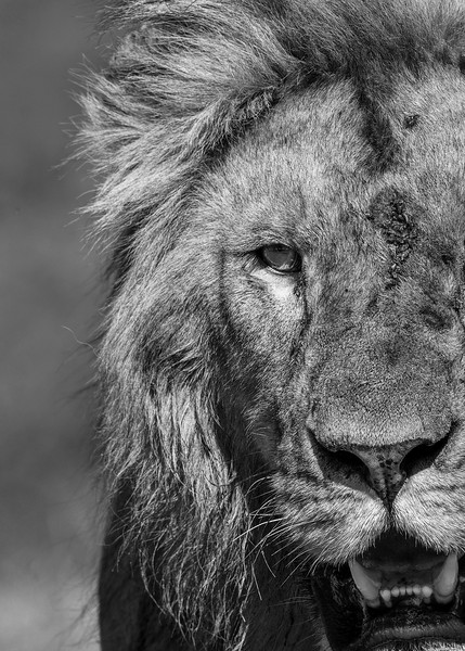 Warrior-lion-Africa-bw.jpg