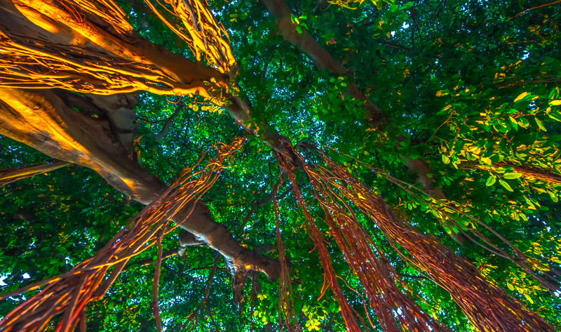 Banyan Tree 8