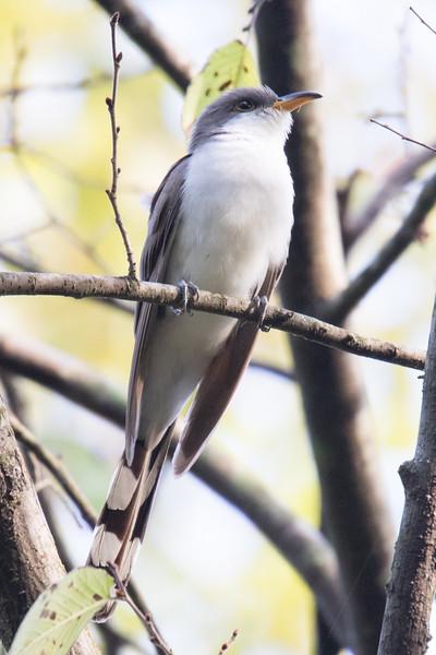 Yellow-billed Cuckoo-1.jpg