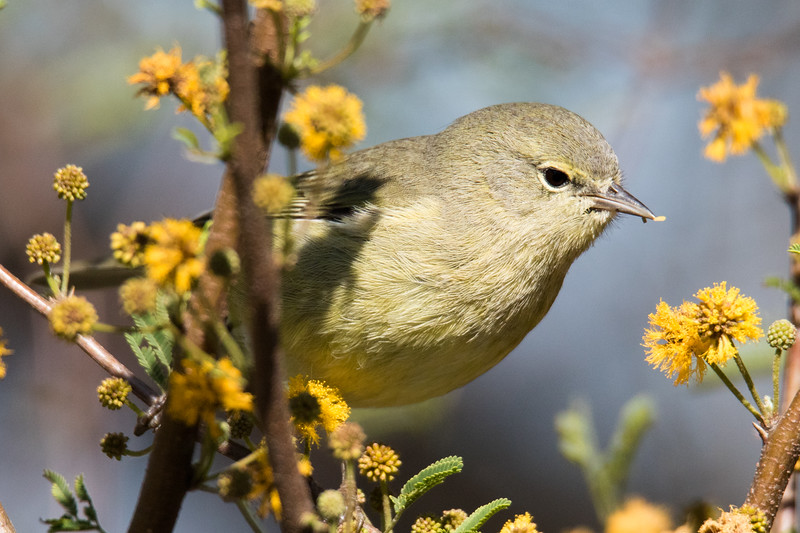 Orange-crowned Warbler So. Texas 2020-2.jpg