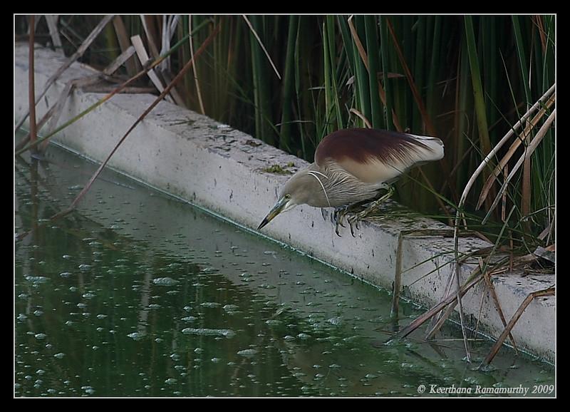 Pond Heron Breeding Plumage, Kukkarahalli Lake, Mysore, Karnataka, India, 2009