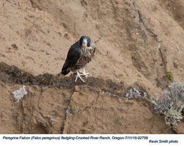 Peregrine Falcon J92799.jpg