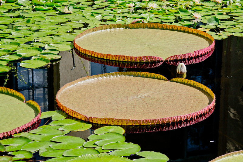 Large Water Lilies and Dark Water