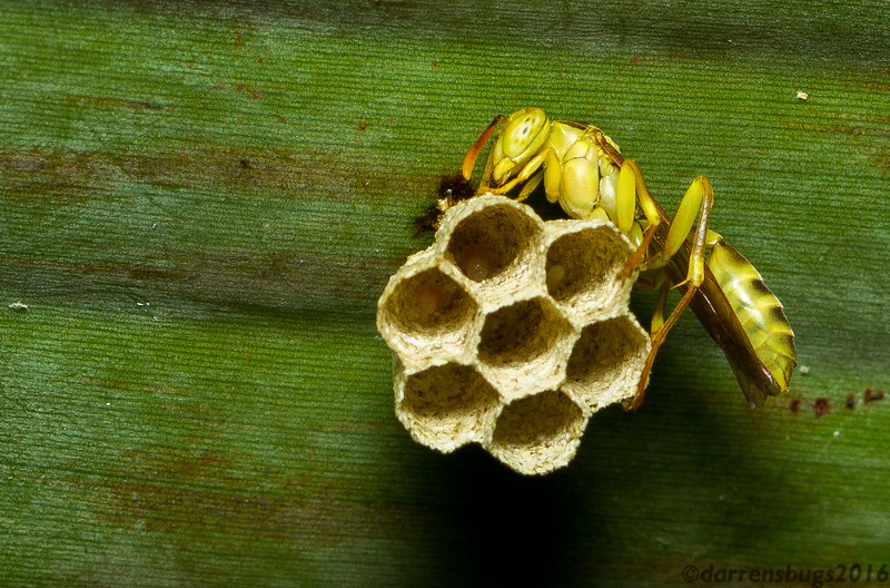 A foundress paper wasp (Polistinae: probably Agelaia sp.) builds a nest in Panama. If you look closely, you can see the larvae occupying the cells!