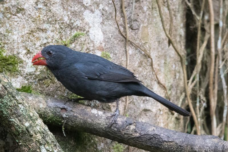 19-Sept Brazil Birds-8771.JPG