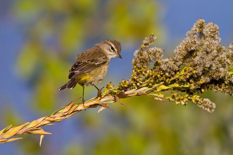 Palm Warbler at Merritt Island NWR
