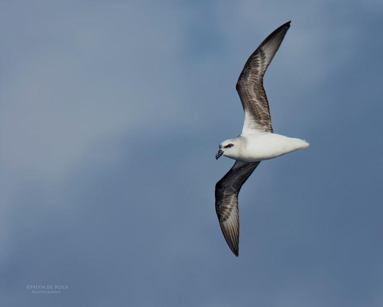 White-headed Petrel, Eaglehawk Neck Pelagic, TAS, May 2016-4.jpg