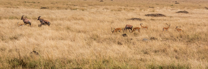 Topi's and Impalas Grazing