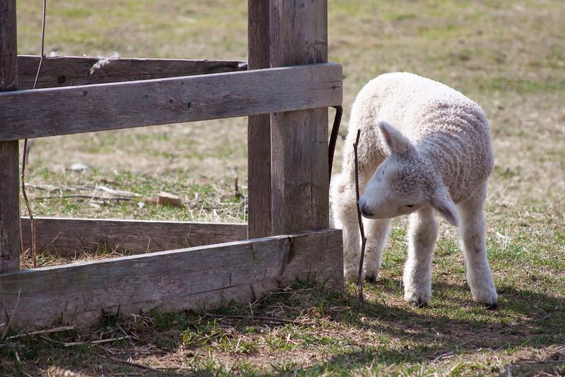 curious lamb.jpg