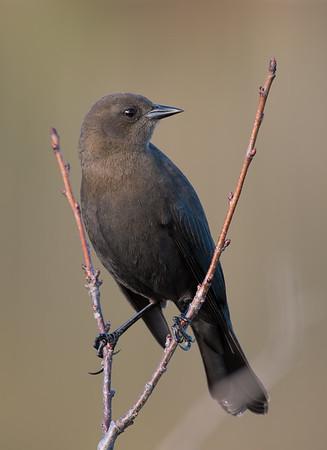 Western Canada Birds & Wildlife