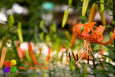 tiger lily hanging out in the garden