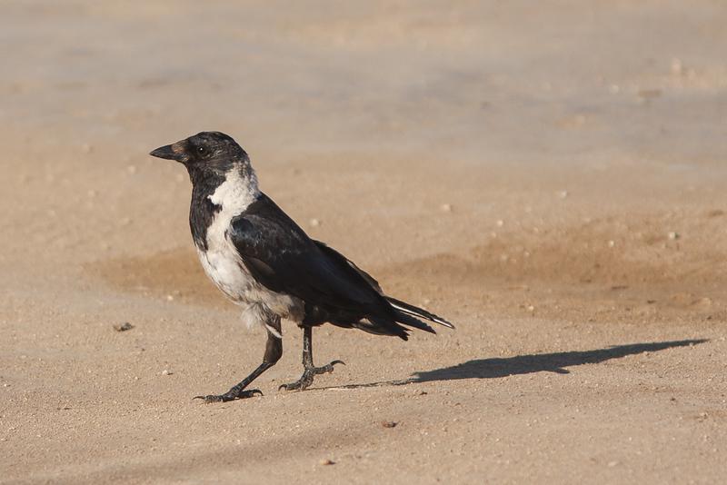 Corvus dauuricus - Daurische kauw - Daurian jackdaw