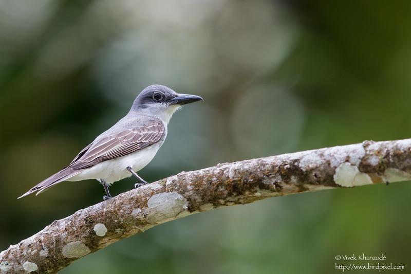 Gray Kingbird - Gilpin Trace, Tobago