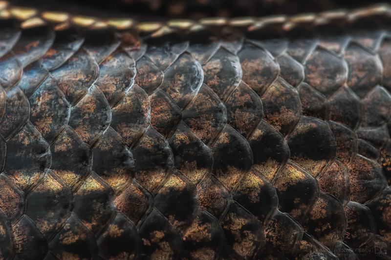Five-lined skink scales