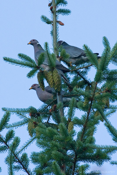 Band-tailed Pigeons, Rattlesnake Lake, WA