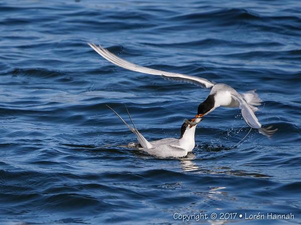 Awkward Tern Feeding at Bolsa Chica - Huntington Beach, CA - Pany GH5  w/ P/L 100-400