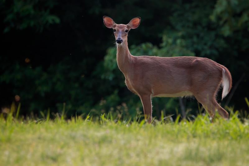 5.22.18 - Prairie Creek Recreation Area: Whitetail Deer