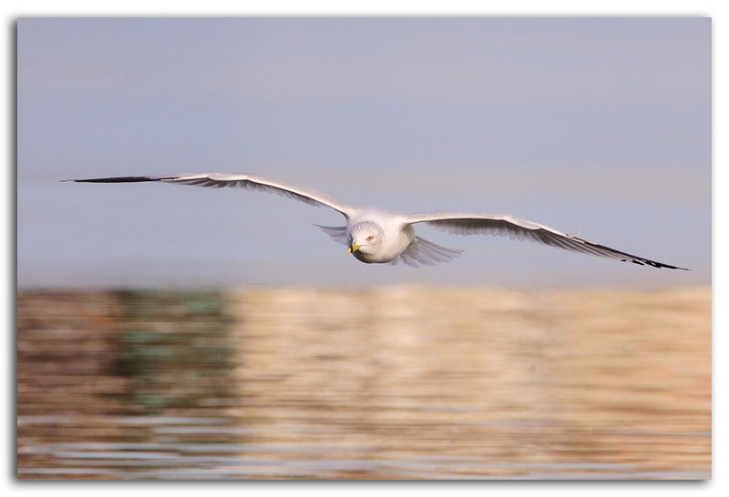 Flying Gull.jpg