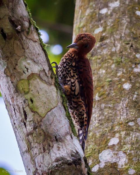 Cinnamon Woodpecker at Rio Silanche Reserve, Ecuador (03-04-2014) 027-195.jpg