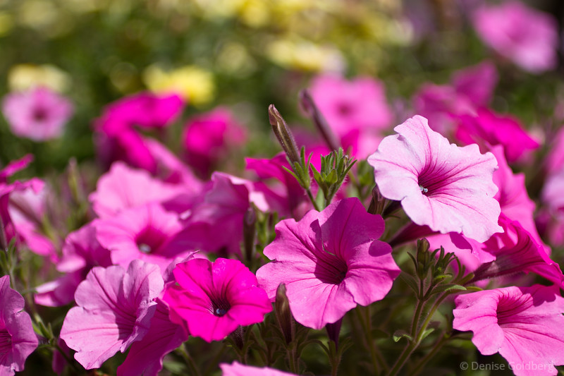 Color behind color, pink petunias and...