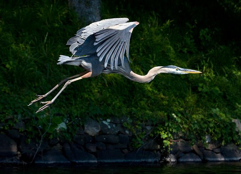 great-blue-heron-in-flight-3_3684006363_o.jpg