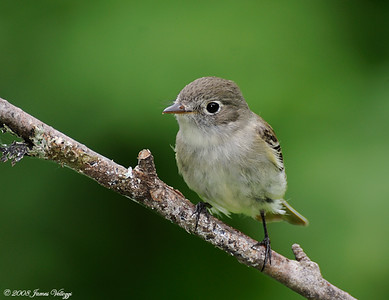 Least Flycatcher, Empidonax minimus