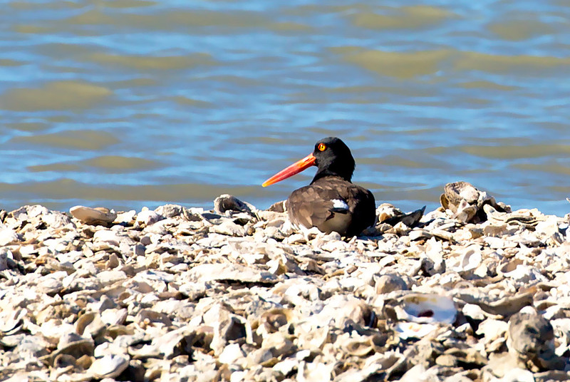 Another Oyster Catcher, roosting