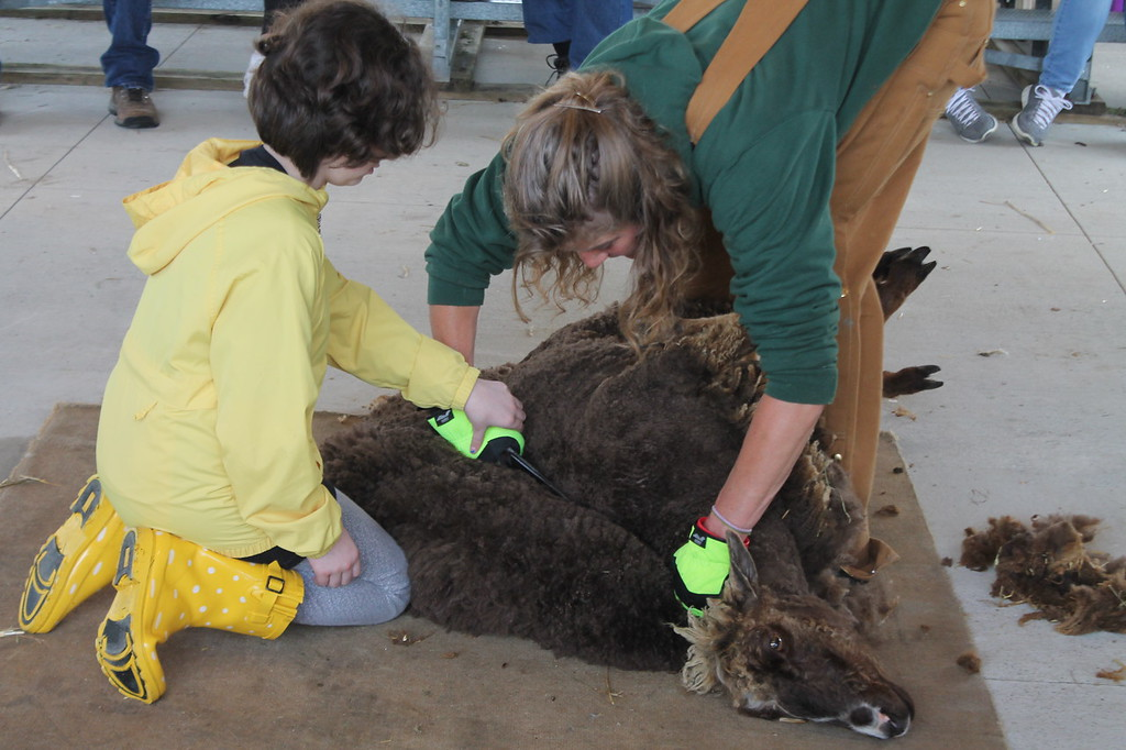 . Cambria Scarborough. 11, Akron,  guided by Farmpark interpreter  and shepherdess tries her hand as sheep shearing with a pair of blades during the Farmpark\'s sheep shearing weekend on May 13. Kristi Garabrandt - The News-Herald