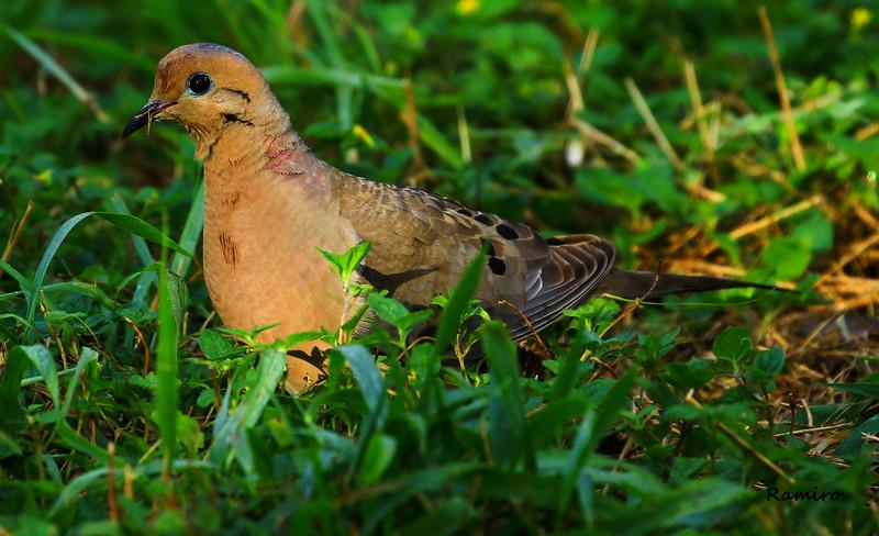 Mourning Dove 7-11-15 024.jpg