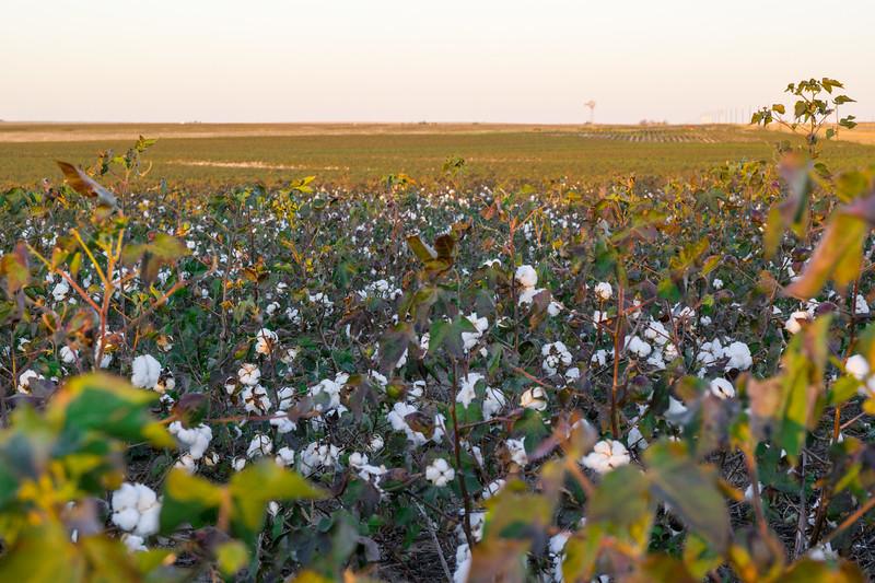 Cotton Field Near Claude, TX