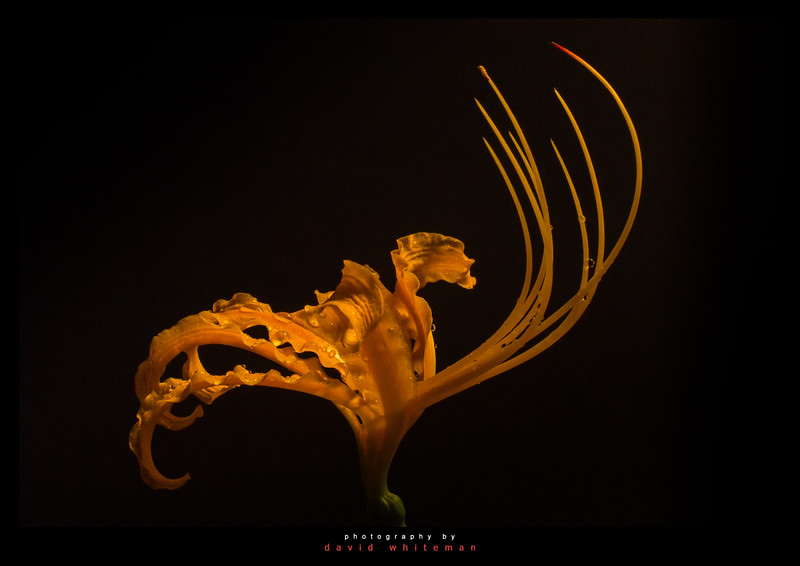 Golden Spider Lily