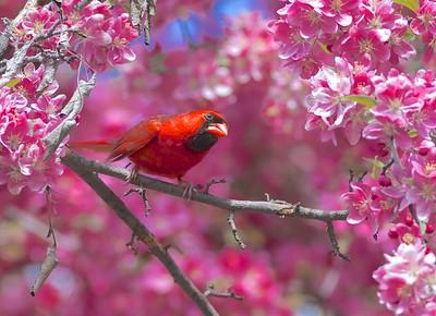 Cardinals & Pyrrhuloxia