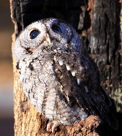Eastern Screech Owl - Gray Phase