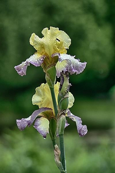 Iris 3 Arboretum.jpg