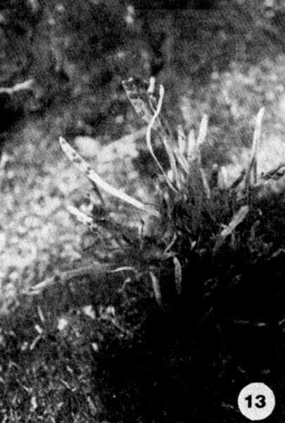 13. Grammatis tenella Image from the Kaala Bog Plant Guide: Kaala Natural Area Reserve, Mt. Kaala, Oahu, a 1992 publication of the State of Hawaii (DLNR/DOFAW) .