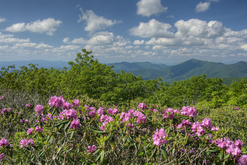 View of blooming rhododendron at the Craggy Gardens Overlook at Milepost 364 on the Blue Ridge Parkway in NC on Saturday, June 15, 2013. Copyright 2013 Jason Barnette