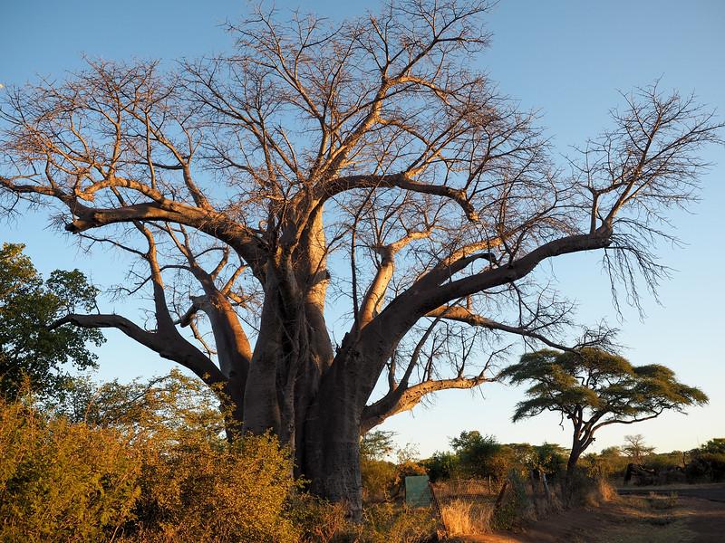 Baobab tree in Zimbabwe
