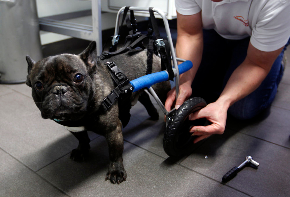 Description of . Marco van den Boom installs a wheel of a medical roll car for French bulldog Billy at the headquarters of  \'Rehatechnik fuer Tiere\' (medical engineering for animals) in the western town of Witten on November 9, 2012. Four-year old Billy, whose hind legs have been paralyzed since birth, ran for the first time on Friday with the aid of the roll car. \'Rehatechnik fuer Tiere\' owner Marco van den Boom, custom builds a range of roll cars for disabled or infirm dogs and animals, to help aid their mobility or paralysis needs.  REUTERS/Ina Fassbender