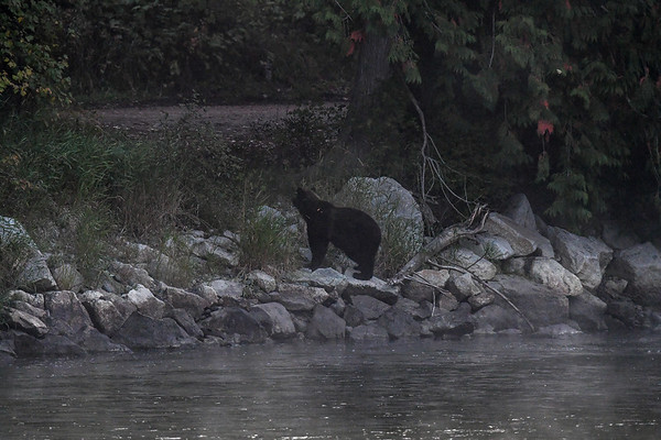 9-21-17 Bella Coola - Single Grizzly In The Fog