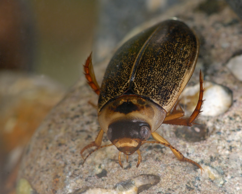 Small Diving Beetle