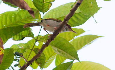 Orthotomus castaneiceps - Philippine Tailorbird