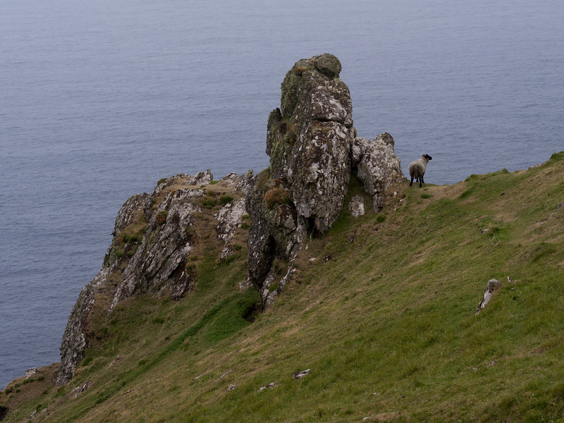 Sheep on the coast, Achill Head Hike, Achill Island, County Mayo, Ireland