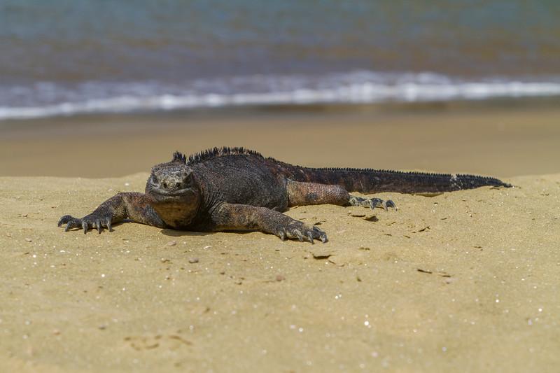 Marine Iguana at Punta Pitt, San Cristobal.jpg