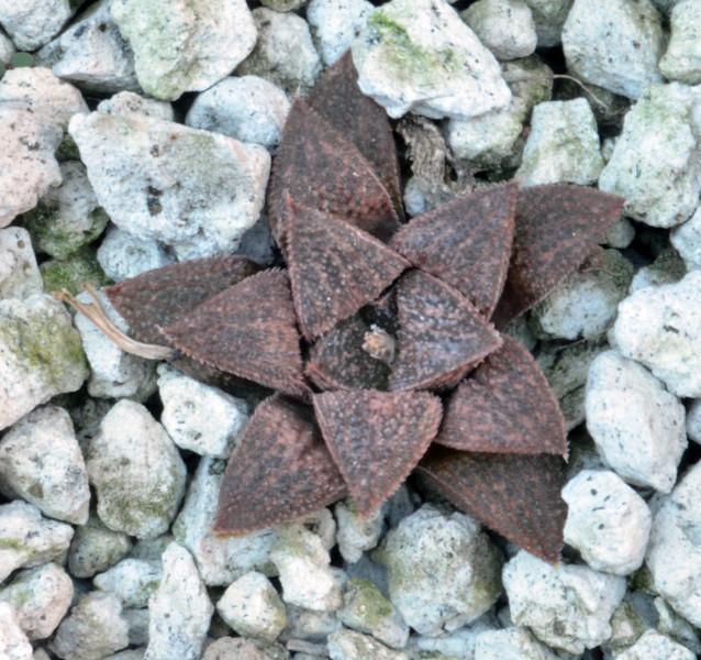 Haworthia yuniko x emelyae