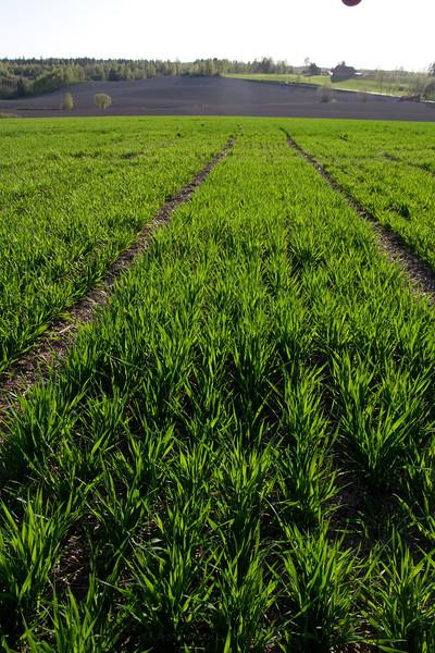 Forsøksfelt i høstkorn