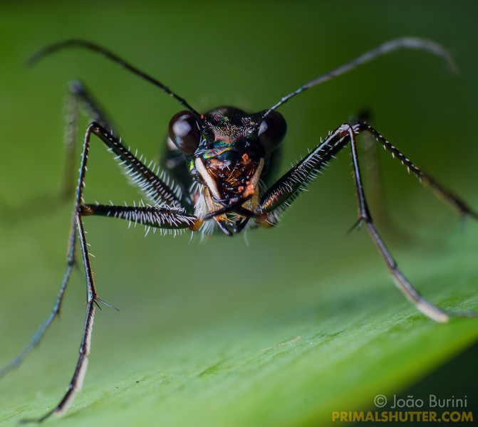 Frontal portrait of a tiger beetle